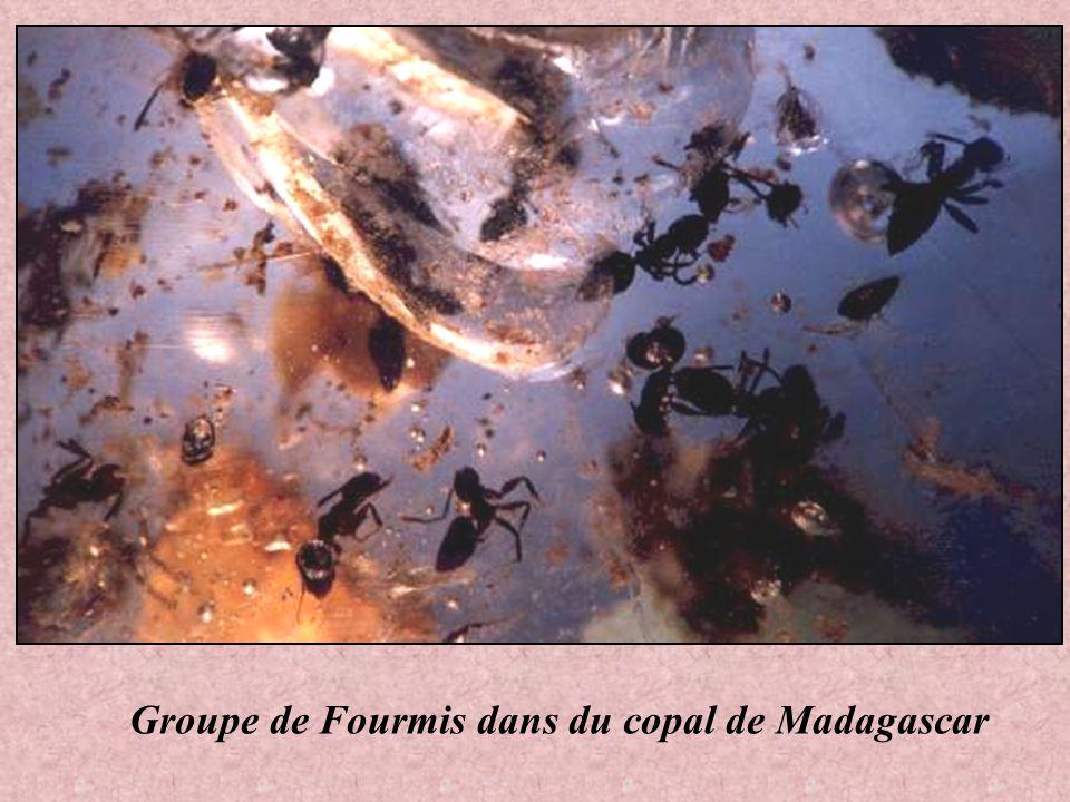 Insecte volant copal de Madagascar