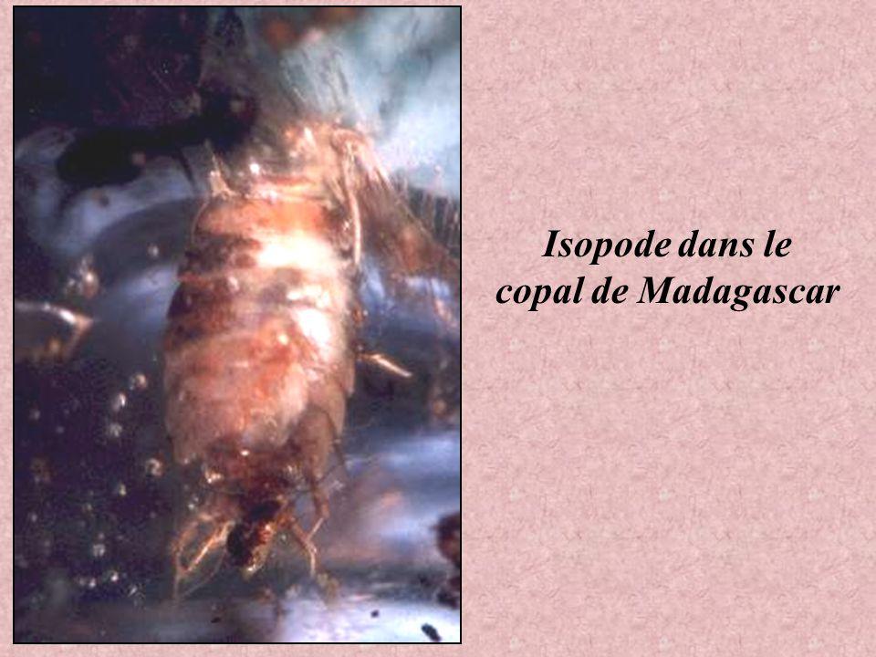 Peut-être un Criquet ou une Cigale dans le Copal de Madagascar