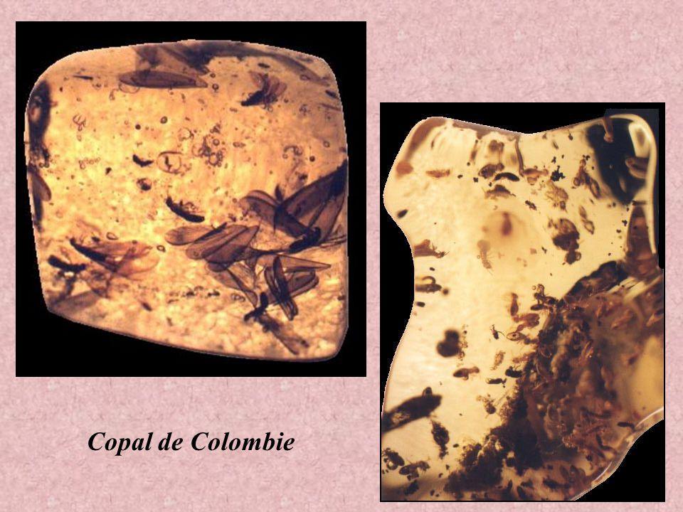 Termite dans le Copal de Colombie