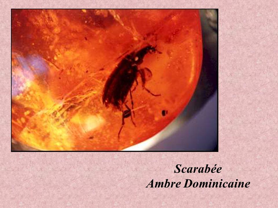 Scarabée Ambre Dominicaine