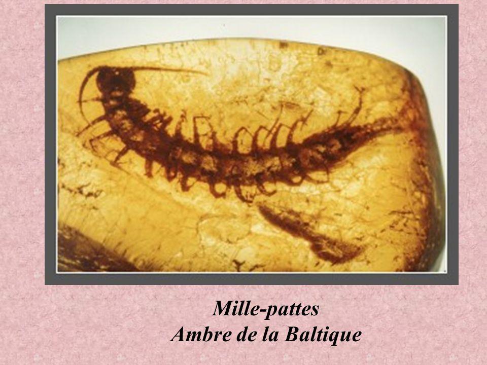 Millipède Ambre de la Baltique