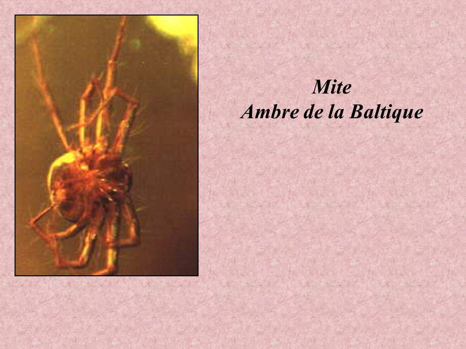 Libellule Ambre Dominicaine Insecte ailé Ambre Dominicaine