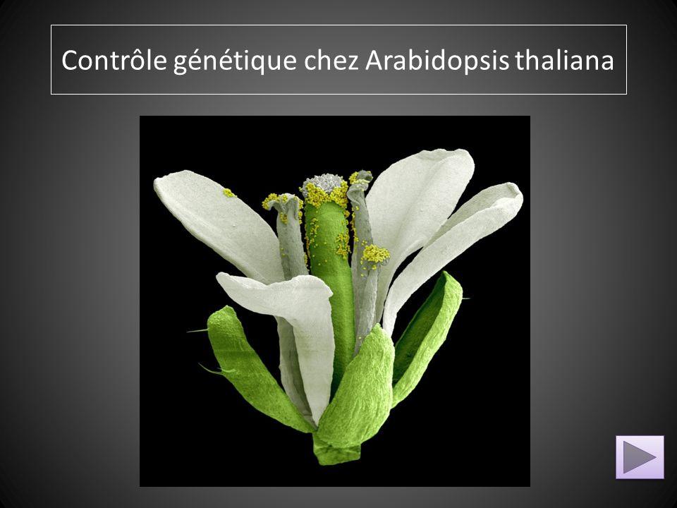 Modèle ABC Classe de Gènes mutés et nom du mutant Pièces florales modifiées Devenir de ces pièces florales modifiées Aide à la résolution