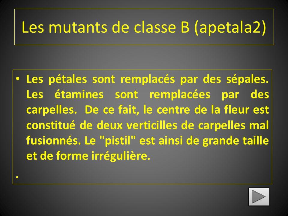 Les mutants de classe A (pistillata) Les sépales ont des caractéristiques carpellaires (présence de stigmates à l'apex, présence éventuelle d'ovules s