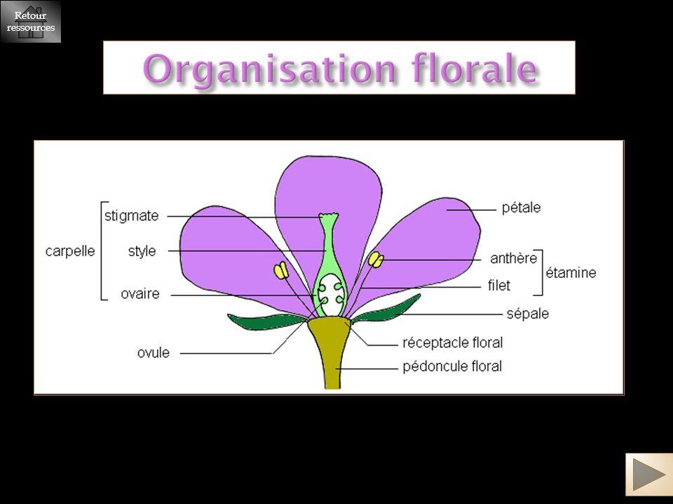 Organisation florale Retour ressources Retour ressources