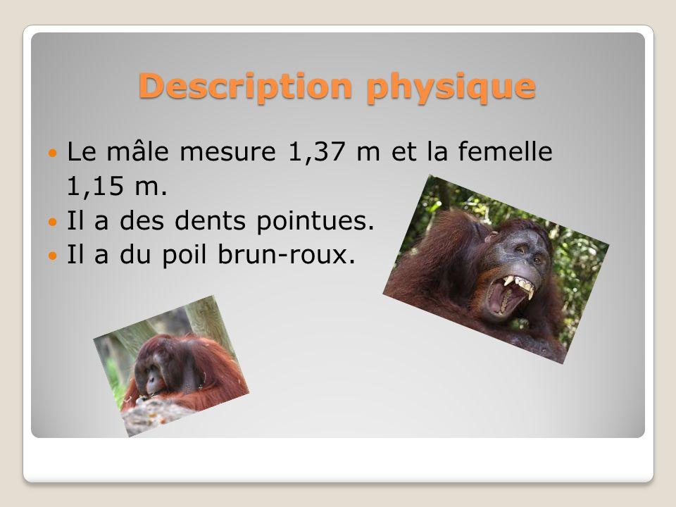 Description physique Le mâle mesure 1,37 m et la femelle 1,15 m. Il a des dents pointues. Il a du poil brun-roux.