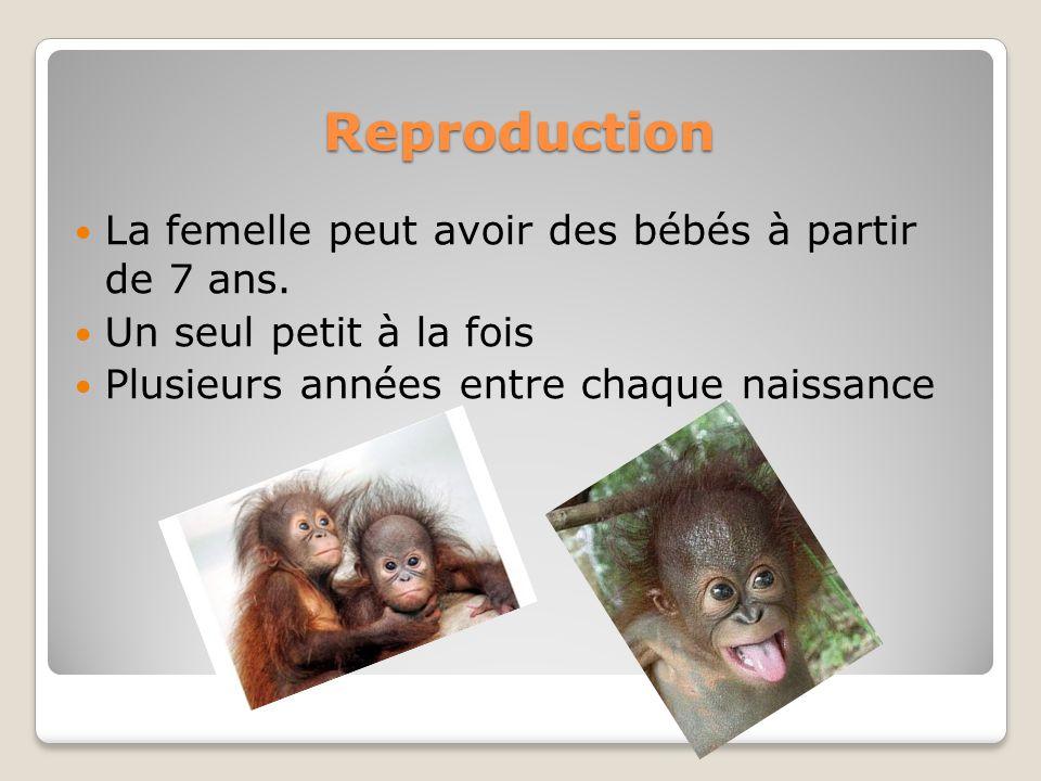 Reproduction La femelle peut avoir des bébés à partir de 7 ans. Un seul petit à la fois Plusieurs années entre chaque naissance
