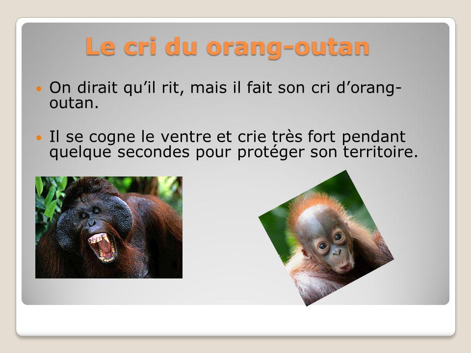 Le cri du orang-outan On dirait quil rit, mais il fait son cri dorang- outan. Il se cogne le ventre et crie très fort pendant quelque secondes pour pr