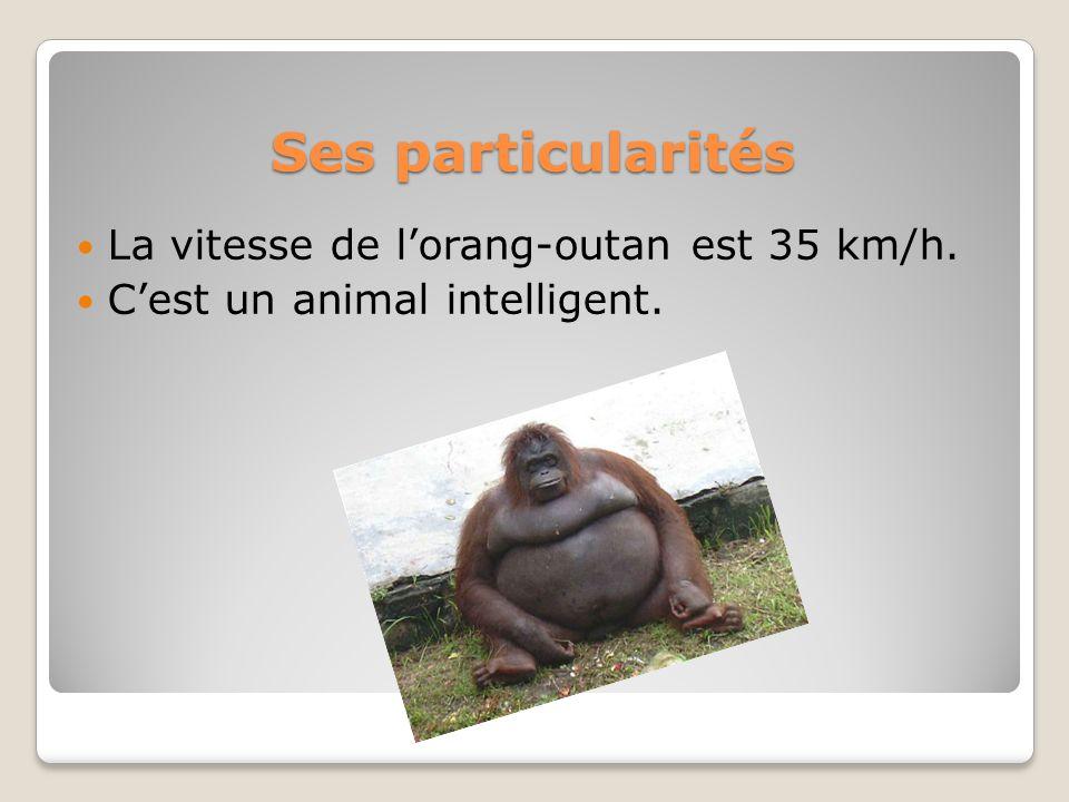 Ses particularités La vitesse de lorang-outan est 35 km/h. Cest un animal intelligent.