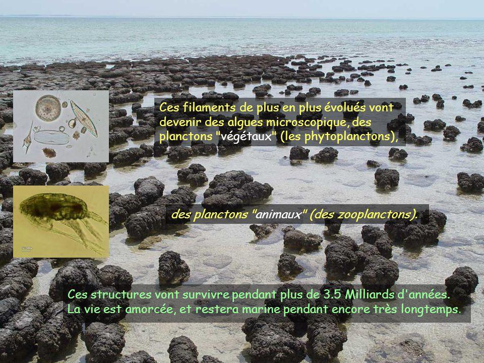 Ces structures vont survivre pendant plus de 3.5 Milliards d'années. La vie est amorcée, et restera marine pendant encore très longtemps. Ces filament