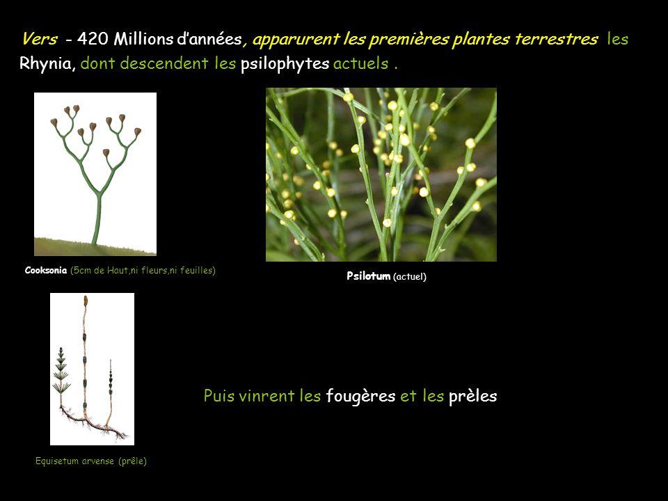 Vers - 420 Millions dannées, apparurent les premières plantes terrestres les Rhynia, dont descendent les psilophytes actuels. Puis vinrent les fougère