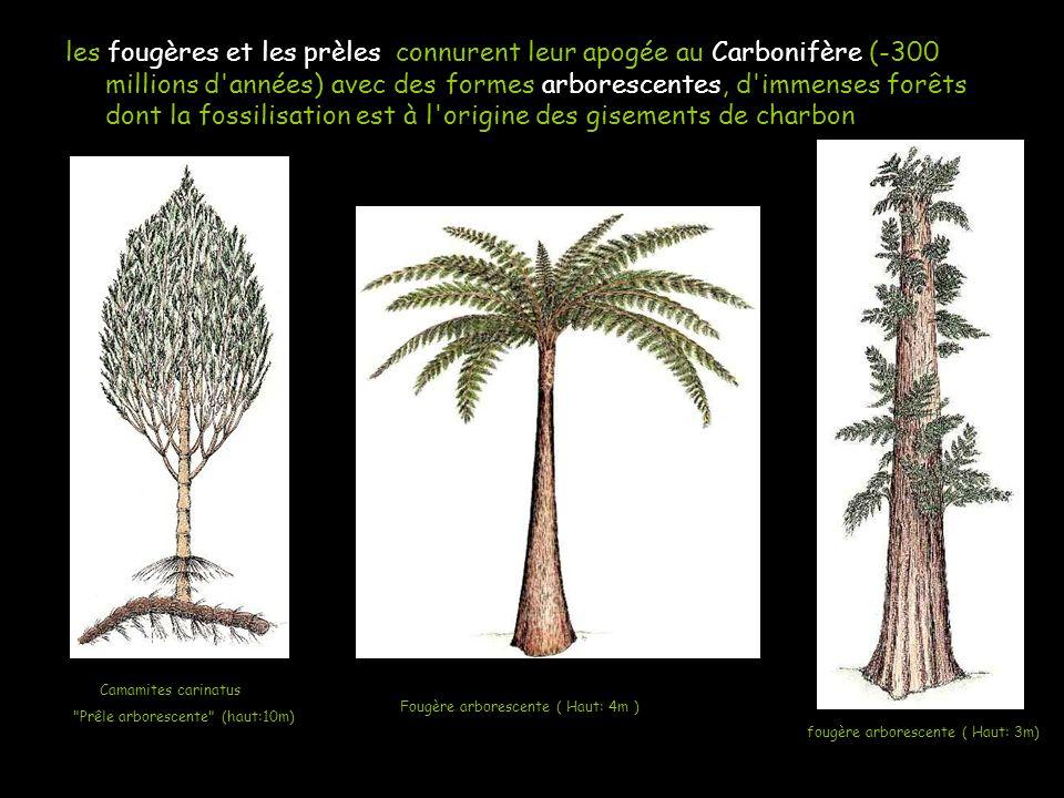 Elles les fougères et les prèles connurent leur apogée au Carbonifère (-300 millions d'années) avec des formes arborescentes, d'immenses forêts dont l