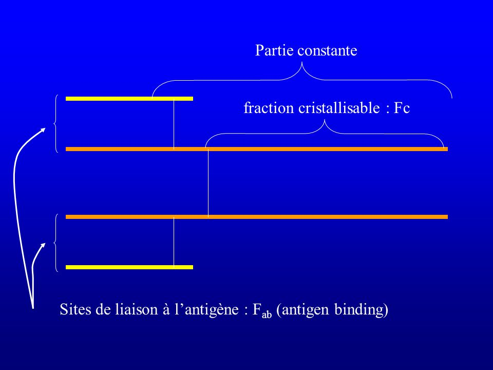 Partie constante Sites de liaison à lantigène : F ab (antigen binding) fraction cristallisable : Fc