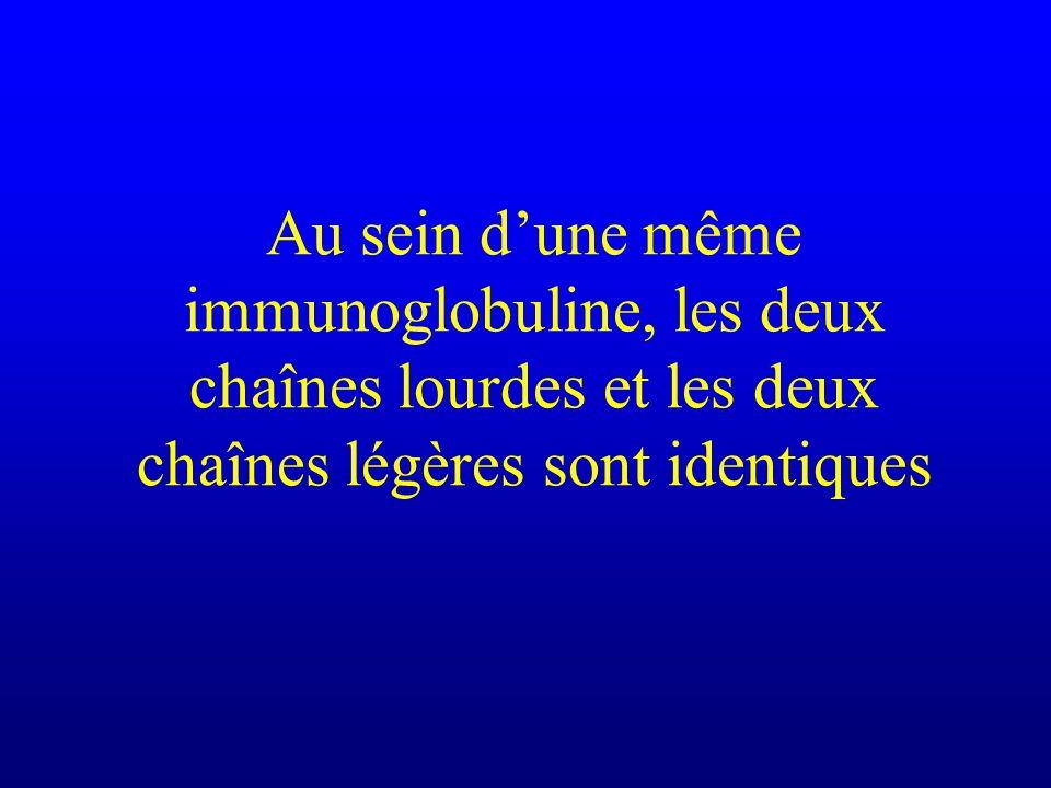 Au sein dune même immunoglobuline, les deux chaînes lourdes et les deux chaînes légères sont identiques