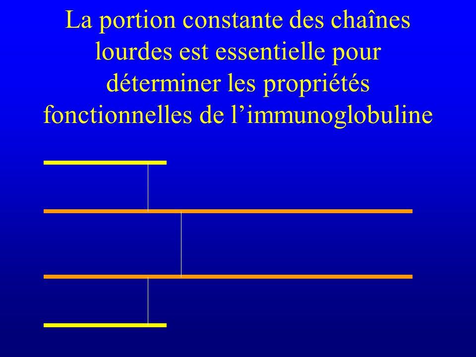 La portion constante des chaînes lourdes est essentielle pour déterminer les propriétés fonctionnelles de limmunoglobuline