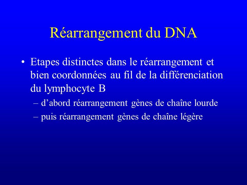 Réarrangement du DNA Etapes distinctes dans le réarrangement et bien coordonnées au fil de la différenciation du lymphocyte B –dabord réarrangement gènes de chaîne lourde –puis réarrangement gènes de chaîne légère