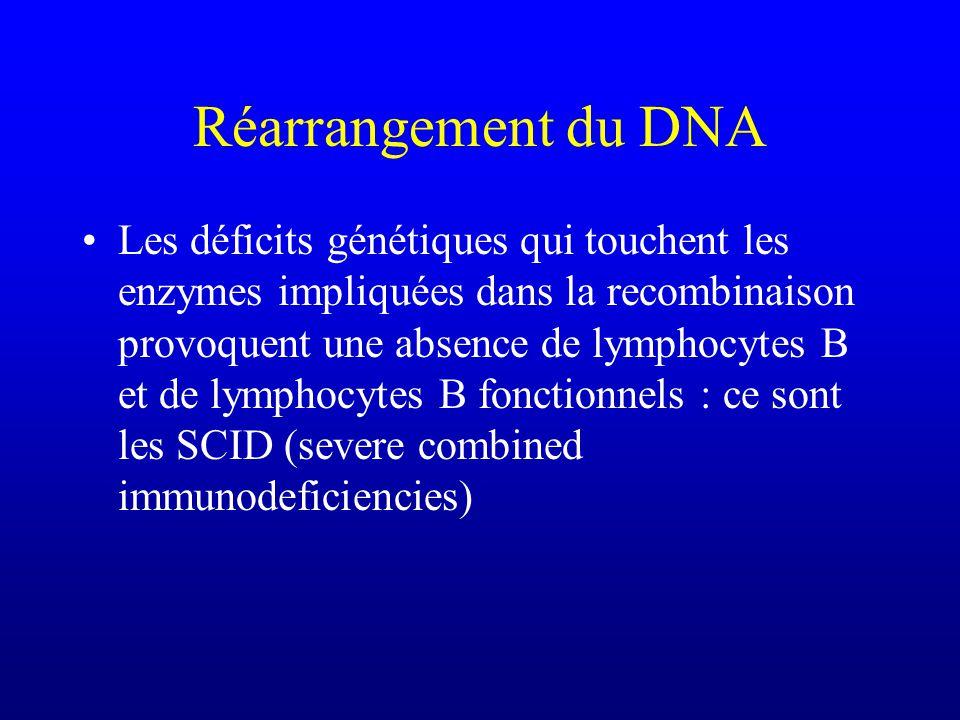 Réarrangement du DNA Les déficits génétiques qui touchent les enzymes impliquées dans la recombinaison provoquent une absence de lymphocytes B et de lymphocytes B fonctionnels : ce sont les SCID (severe combined immunodeficiencies)