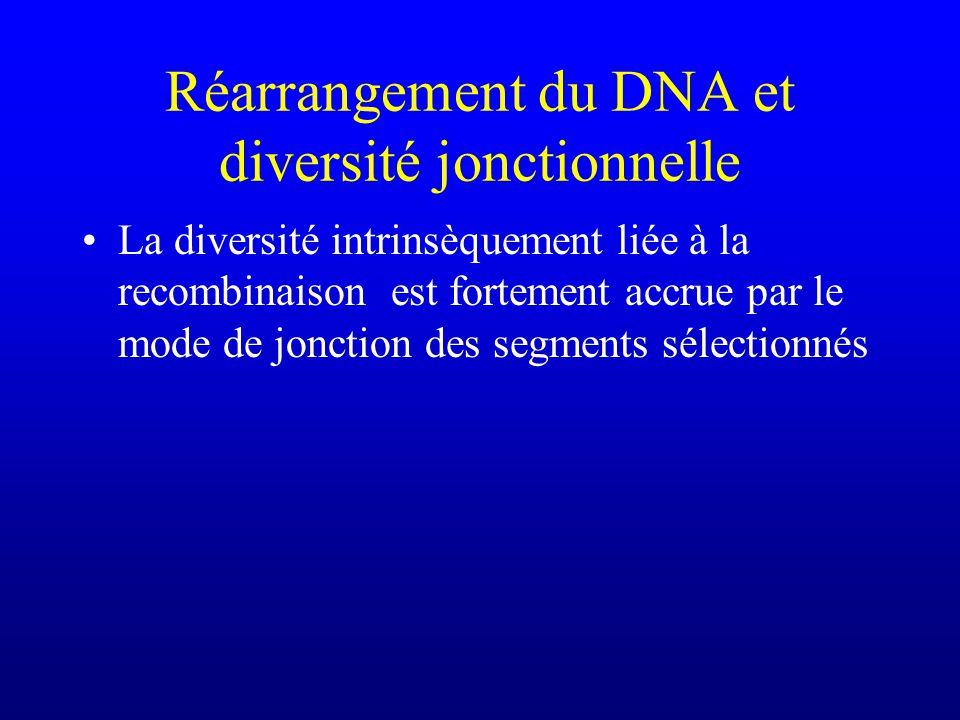 Réarrangement du DNA et diversité jonctionnelle La diversité intrinsèquement liée à la recombinaison est fortement accrue par le mode de jonction des segments sélectionnés