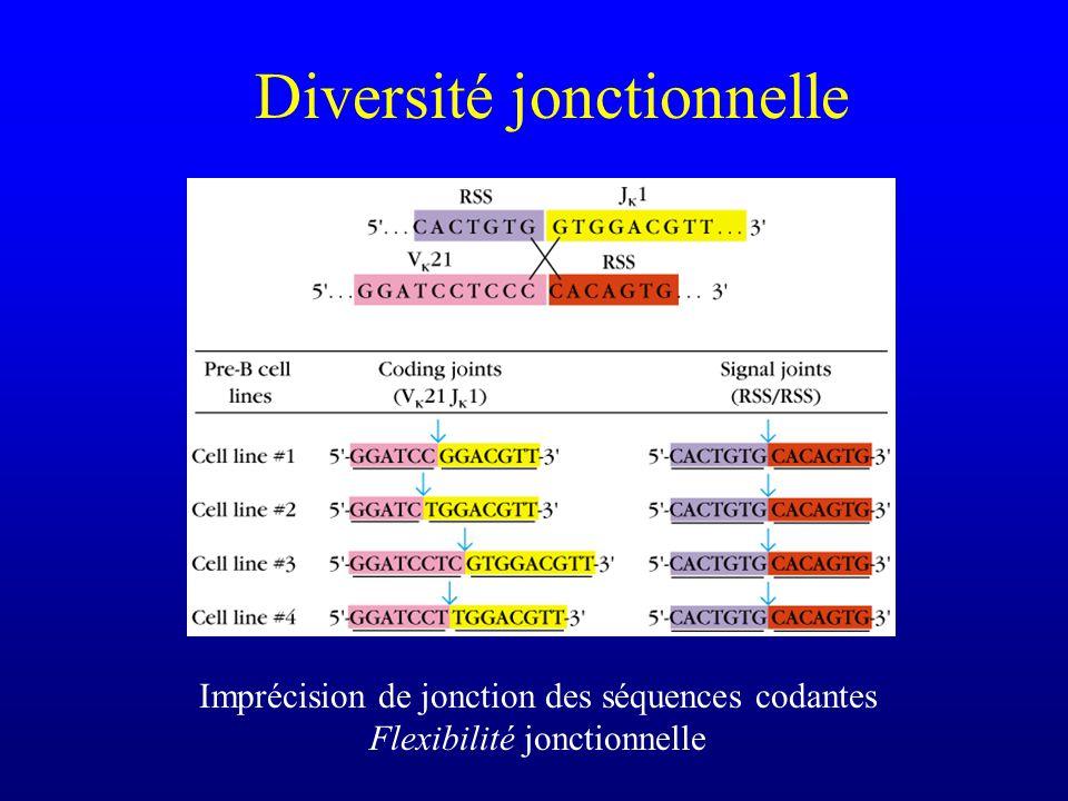 Diversité jonctionnelle Imprécision de jonction des séquences codantes Flexibilité jonctionnelle