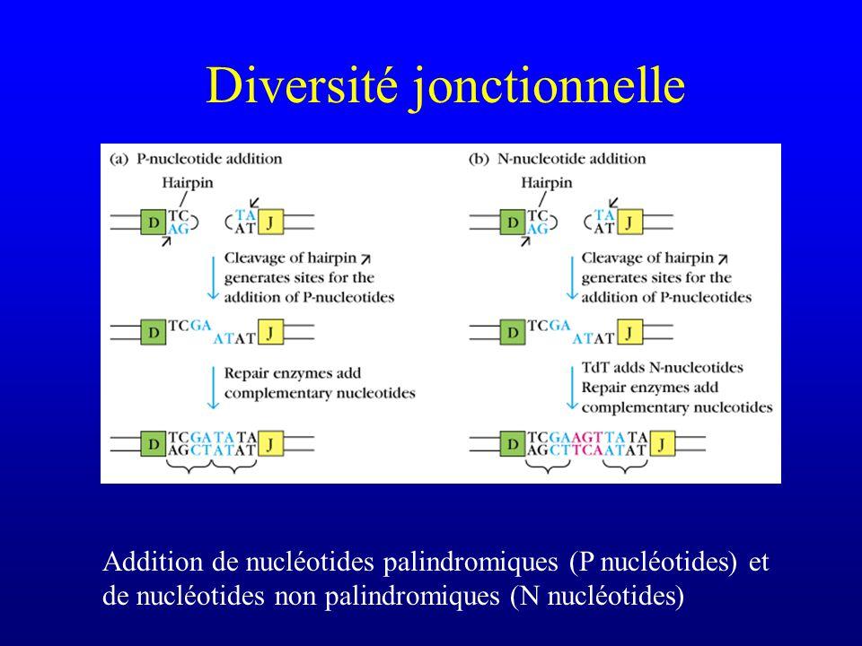 Diversité jonctionnelle Addition de nucléotides palindromiques (P nucléotides) et de nucléotides non palindromiques (N nucléotides)
