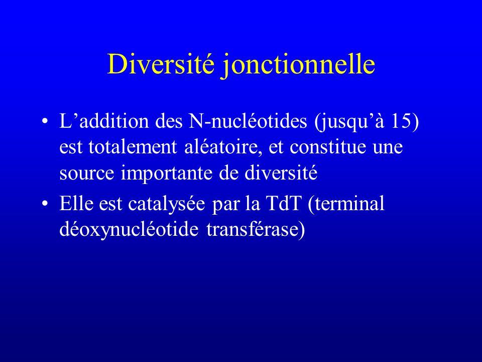 Diversité jonctionnelle Laddition des N-nucléotides (jusquà 15) est totalement aléatoire, et constitue une source importante de diversité Elle est catalysée par la TdT (terminal déoxynucléotide transférase)