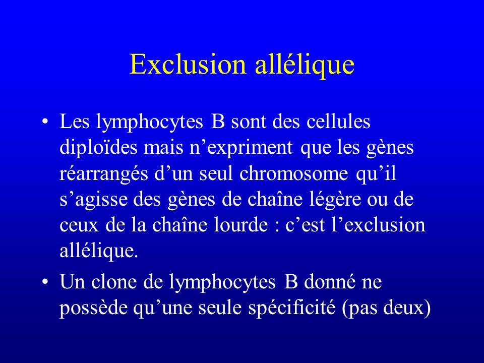 Exclusion allélique Les lymphocytes B sont des cellules diploïdes mais nexpriment que les gènes réarrangés dun seul chromosome quil sagisse des gènes de chaîne légère ou de ceux de la chaîne lourde : cest lexclusion allélique.