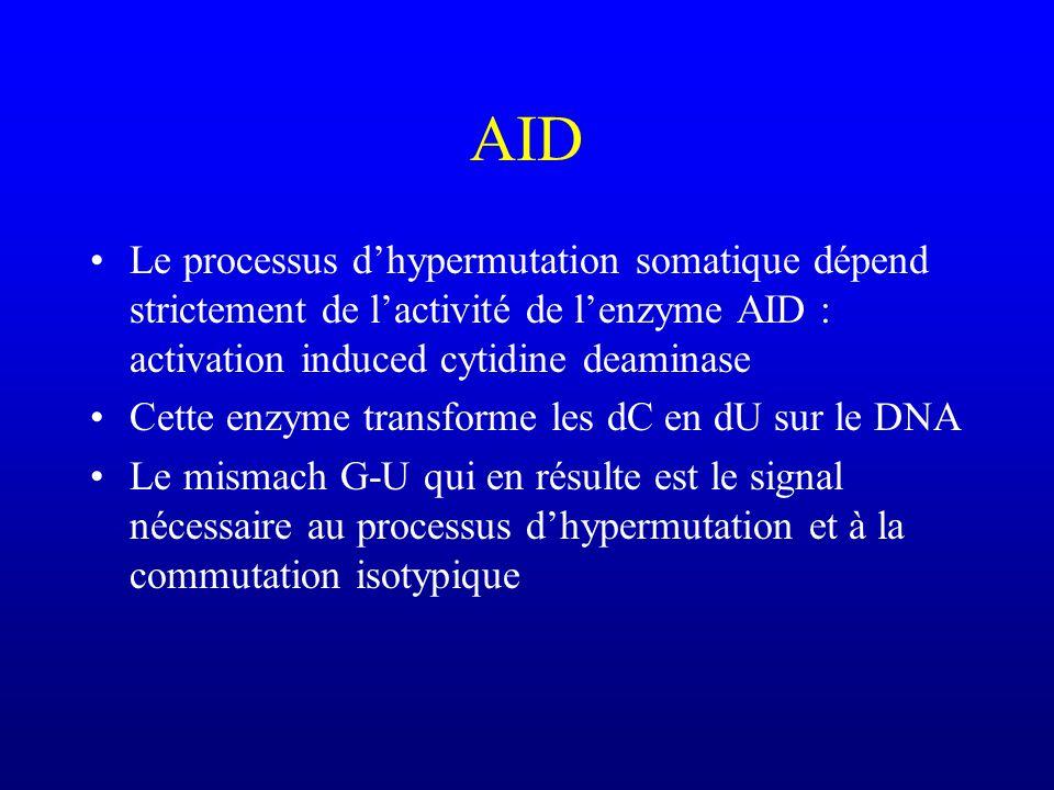 AID Le processus dhypermutation somatique dépend strictement de lactivité de lenzyme AID : activation induced cytidine deaminase Cette enzyme transforme les dC en dU sur le DNA Le mismach G-U qui en résulte est le signal nécessaire au processus dhypermutation et à la commutation isotypique