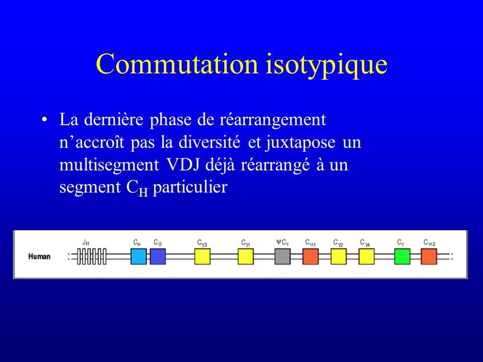 Commutation isotypique La dernière phase de réarrangement naccroît pas la diversité et juxtapose un multisegment VDJ déjà réarrangé à un segment C H particulier