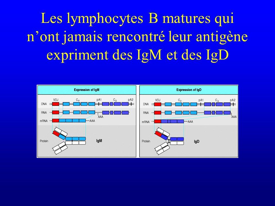 Les lymphocytes B matures qui nont jamais rencontré leur antigène expriment des IgM et des IgD