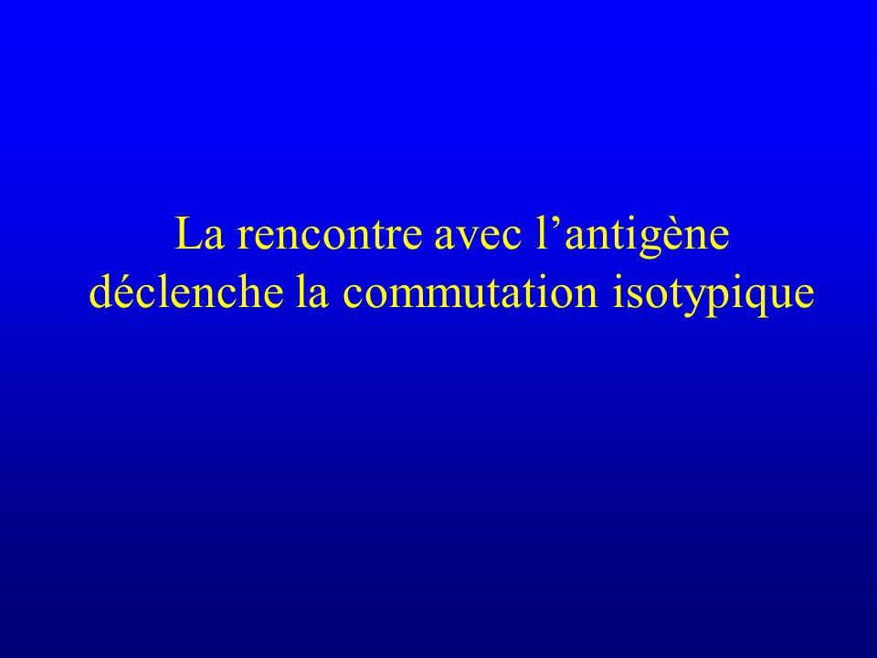 La rencontre avec lantigène déclenche la commutation isotypique