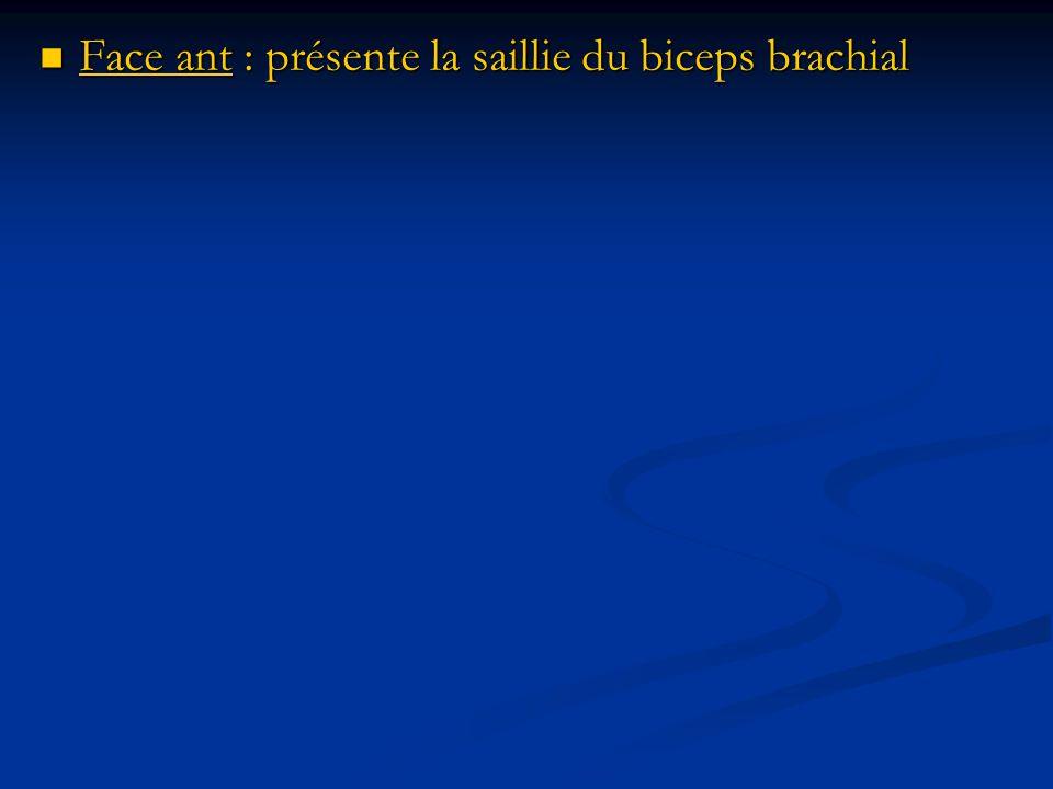 Face ant : présente la saillie du biceps brachial Face ant : présente la saillie du biceps brachial
