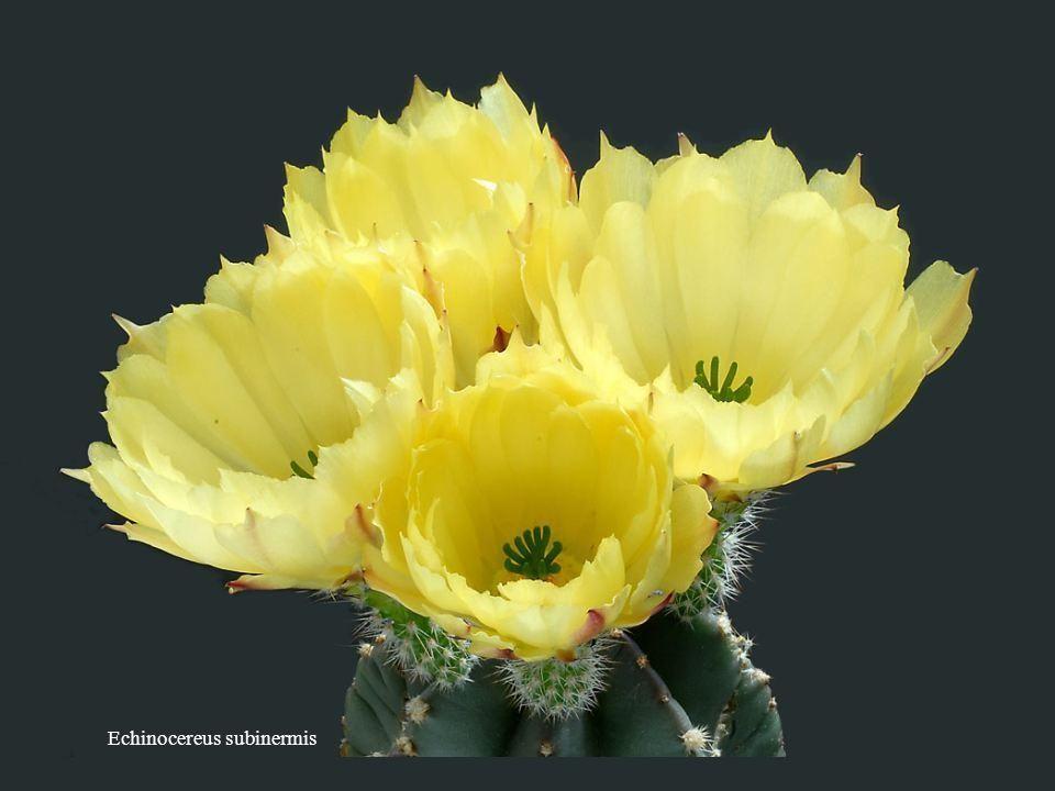 Astrophytum coahuilense De même que la valeur de la vie n'est pas en sa surface mais dans ses profondeurs, les choses vues ne sont pas dans leur écorc
