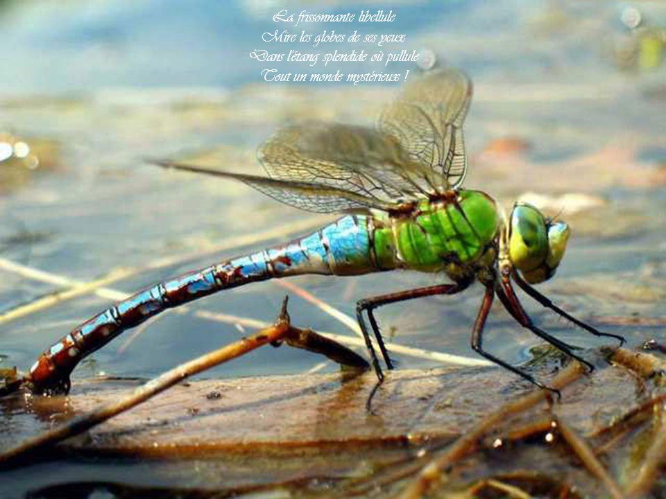 La frissonnante libellule Mire les globes de ses yeux Dans l étang splendide où pullule Tout un monde mystérieux !