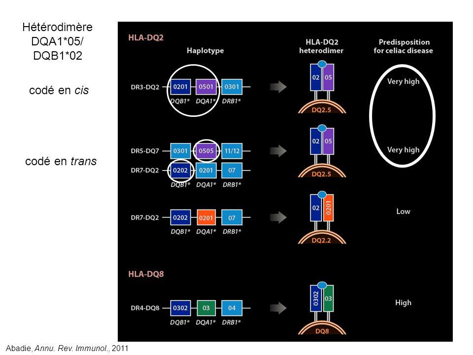 Hétérodimère DQA1*05/ DQB1*02 codé en cis codé en trans Abadie, Annu. Rev. Immunol., 2011