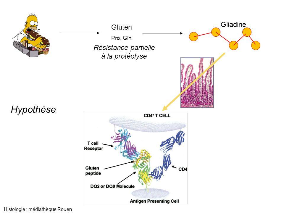 Gluten Pro, Gln Résistance partielle à la protéolyse Gliadine Histologie : médiathèque Rouen Hypothèse