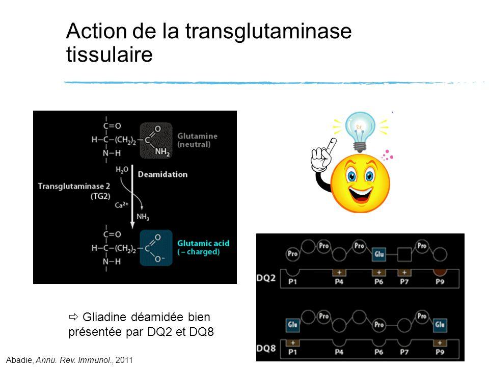 Action de la transglutaminase tissulaire Gliadine déamidée bien présentée par DQ2 et DQ8 Abadie, Annu. Rev. Immunol., 2011