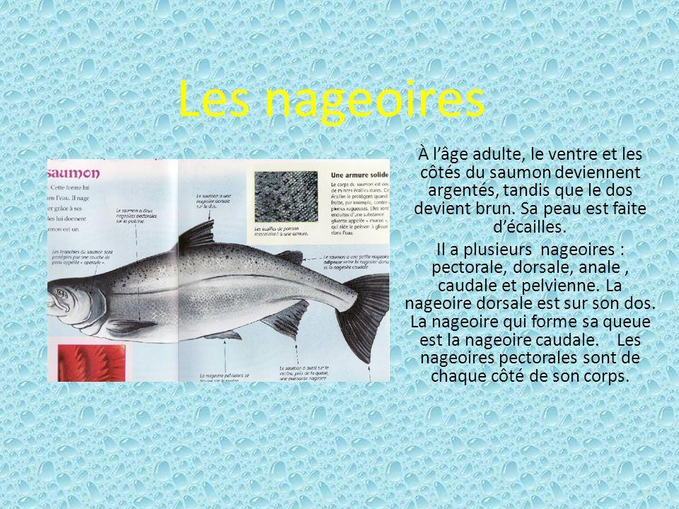 Les nageoires À lâge adulte, le ventre et les côtés du saumon deviennent argentés, tandis que le dos devient brun.