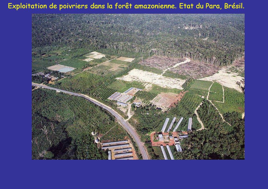Exploitation de poivriers dans la forêt amazonienne. Etat du Para, Brésil.