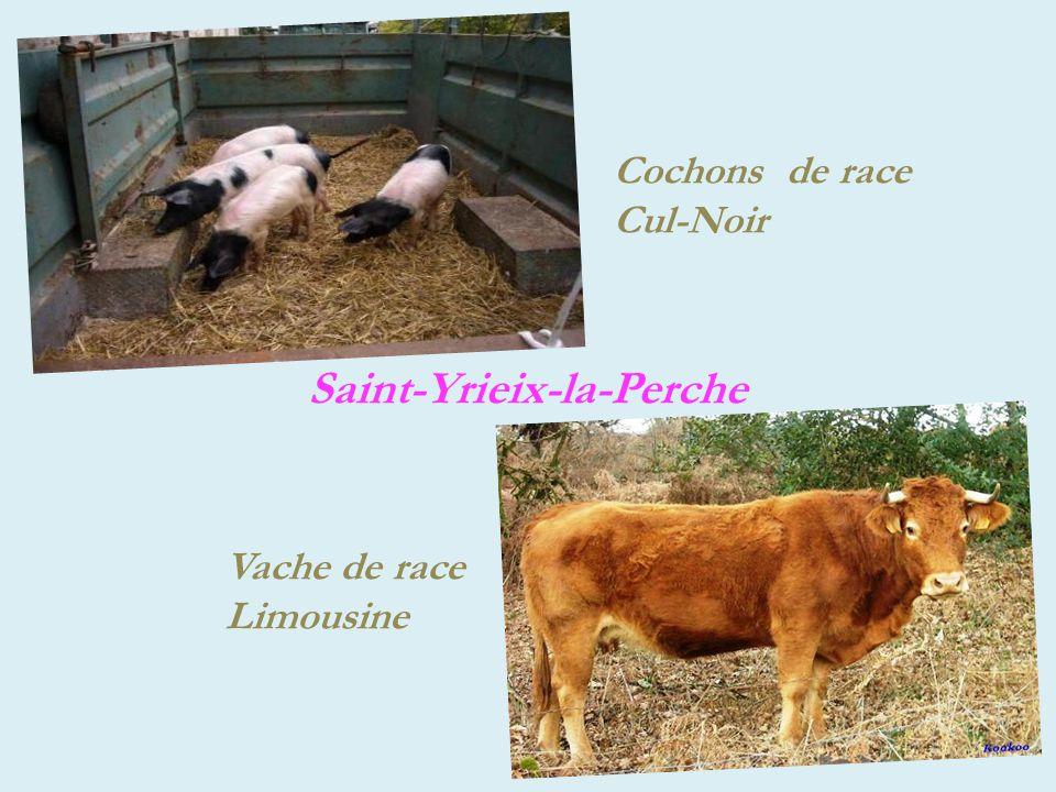 Saint-Yrieix-la-Perche Cochons de race Cul-Noir Vache de race Limousine
