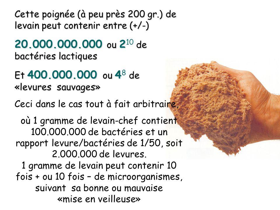 1.d. La microbiologie dun levain-chef Arrivé à leur dévelloppement maximun les bactéries lactiques de la sous-espèce lactobacilles ( en forme de baton