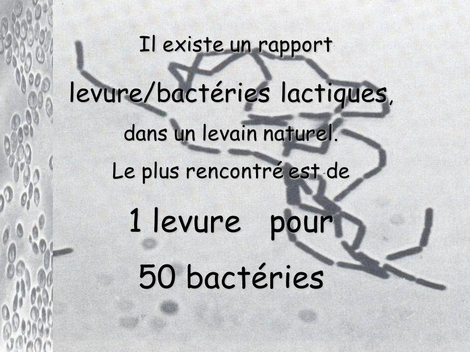 Il existe un rapport Il existe un rapport levure/bactéries lactiques, dans un levain naturel.