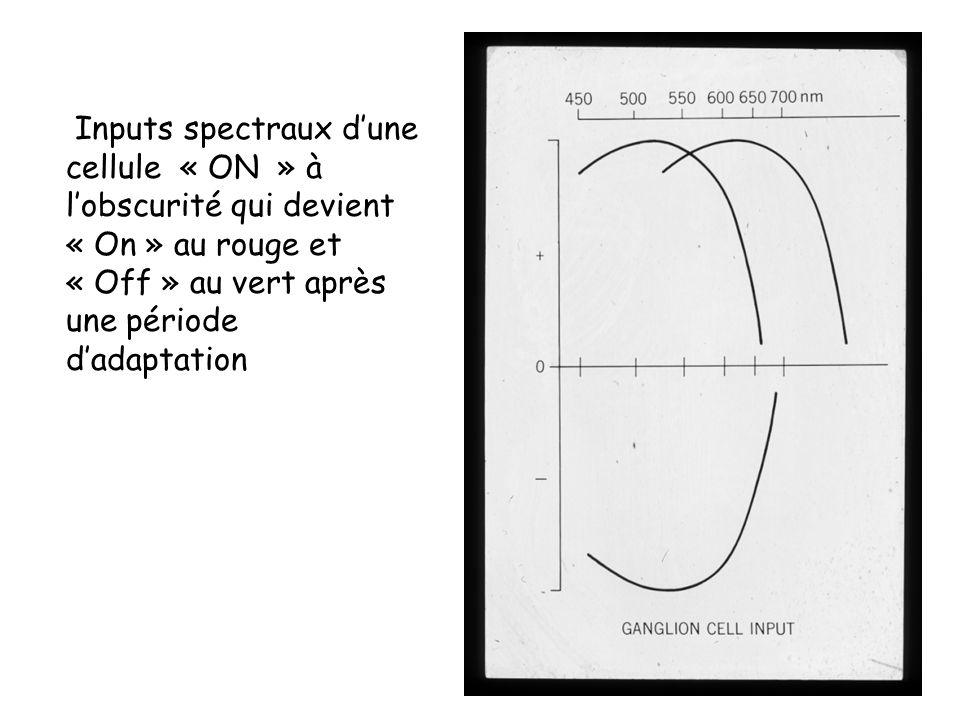 Inputs spectraux dune cellule « ON » à lobscurité qui devient « On » au rouge et « Off » au vert après une période dadaptation