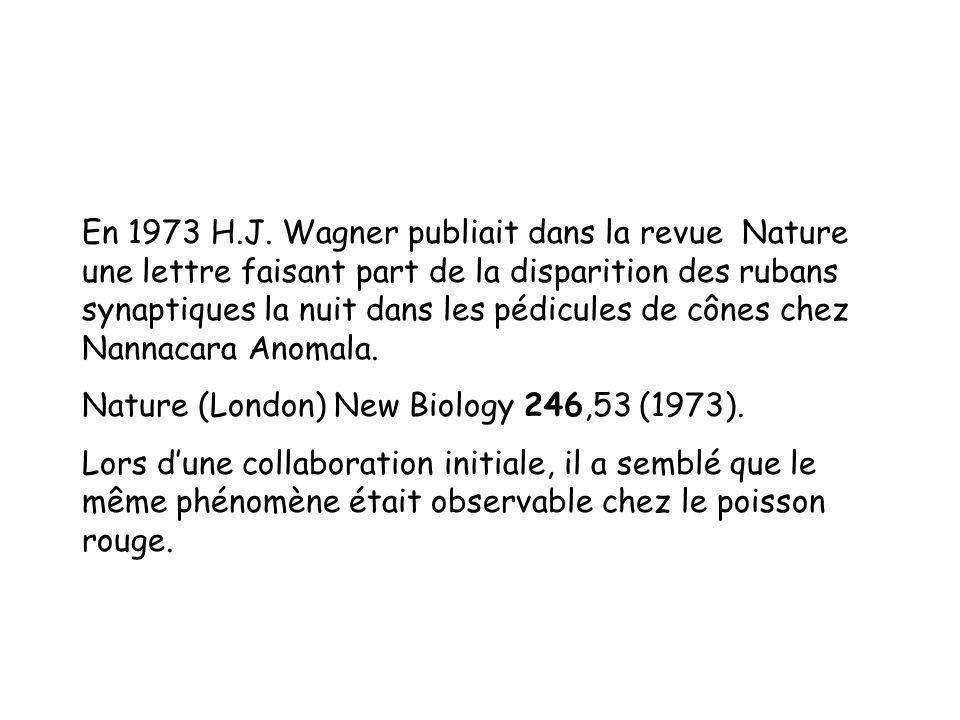 En 1973 H.J. Wagner publiait dans la revue Nature une lettre faisant part de la disparition des rubans synaptiques la nuit dans les pédicules de cônes