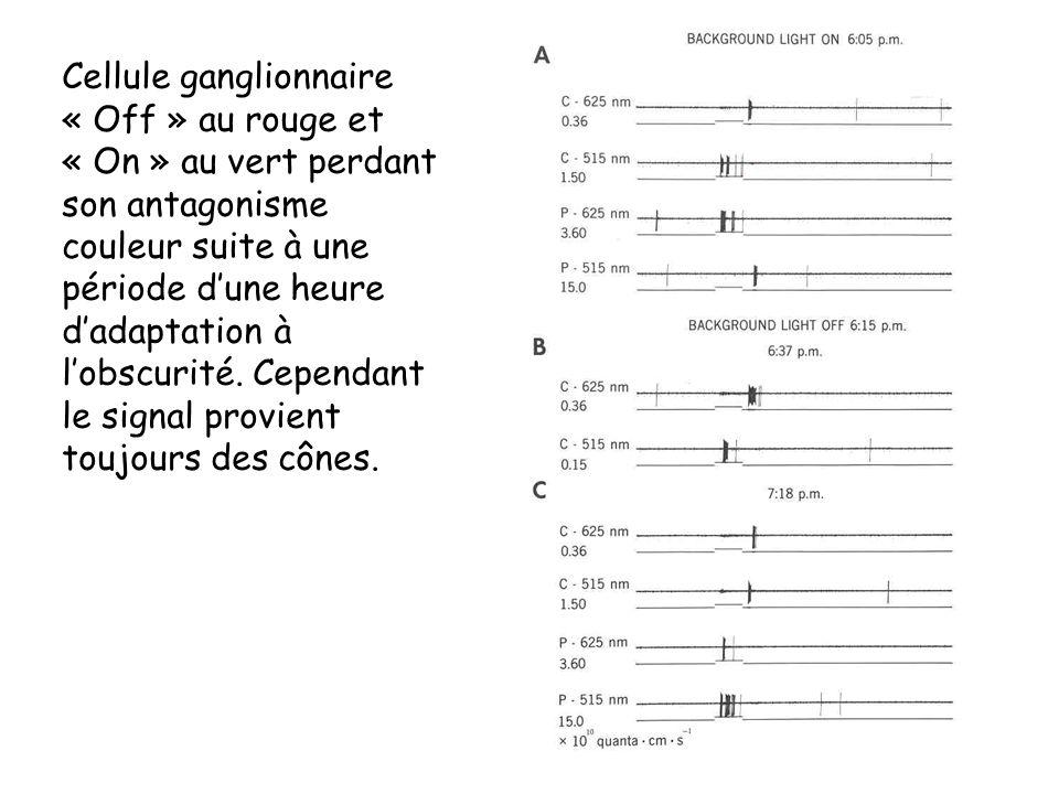 Cellule ganglionnaire « Off » au rouge et « On » au vert perdant son antagonisme couleur suite à une période dune heure dadaptation à lobscurité. Cepe