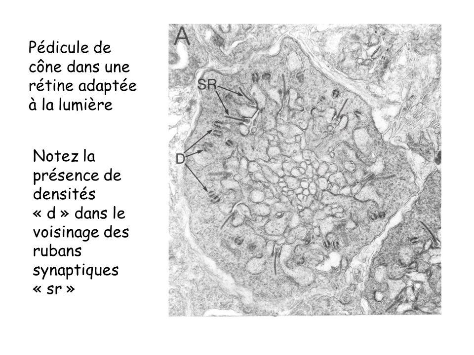 Pédicule de cône dans une rétine adaptée à la lumière Notez la présence de densités « d » dans le voisinage des rubans synaptiques « sr »