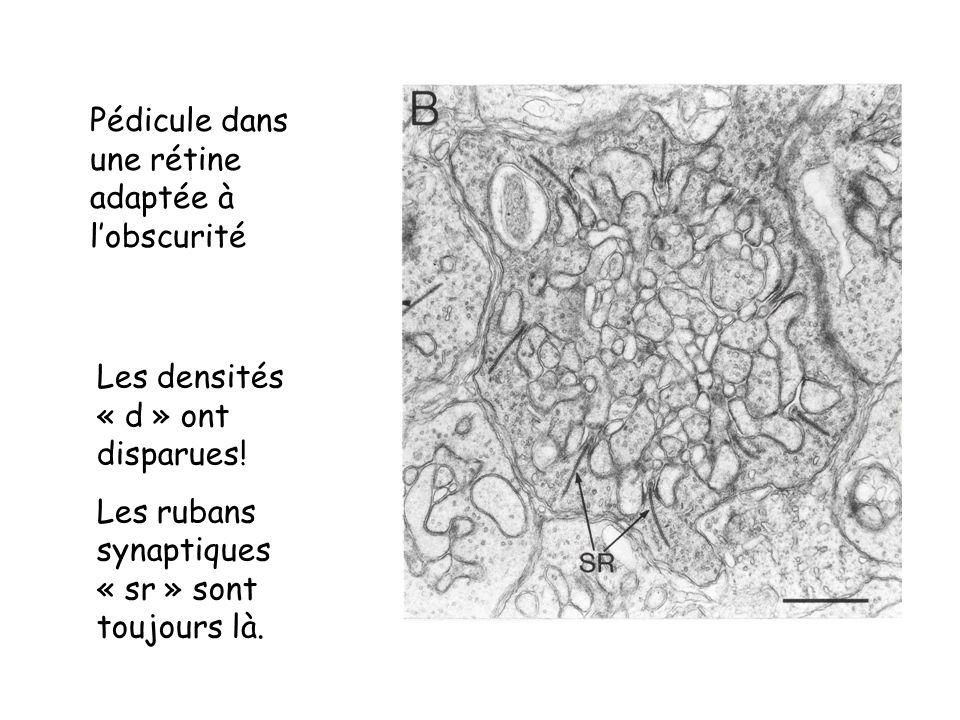 Pédicule dans une rétine adaptée à lobscurité Les densités « d » ont disparues! Les rubans synaptiques « sr » sont toujours là.