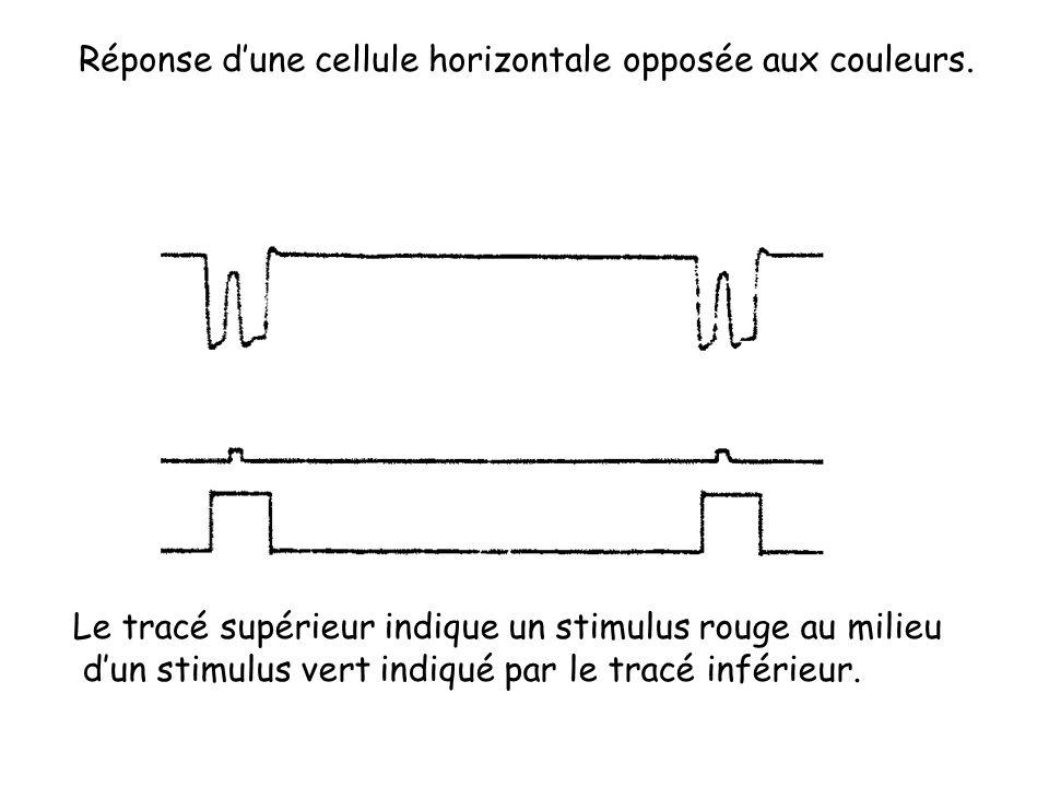 Réponse dune cellule horizontale opposée aux couleurs. Le tracé supérieur indique un stimulus rouge au milieu dun stimulus vert indiqué par le tracé i