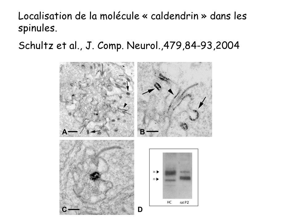 Localisation de la molécule « caldendrin » dans les spinules. Schultz et al., J. Comp. Neurol.,479,84-93,2004