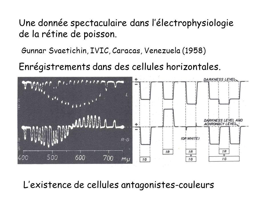 Une donnée spectaculaire dans lélectrophysiologie de la rétine de poisson. Gunnar Svaetichin, IVIC, Caracas, Venezuela (1958) Enrégistrements dans des