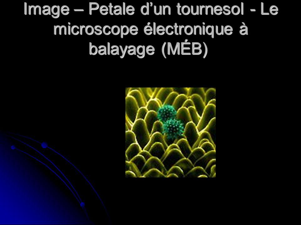 Image – Petale dun tournesol - Le microscope électronique à balayage (MÉB) Image – Petale dun tournesol - Le microscope électronique à balayage (MÉB)